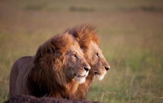 Male_lions_TUSK